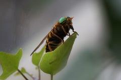 Striped gadfly sitting on a green leaf Royalty Free Stock Photos