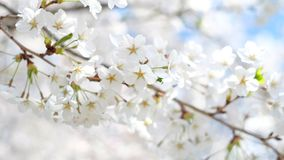 Closeup macro shot of a cherry blossom flower during spring month, High Park, Toronto, Canada. royalty free stock images