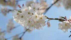 Closeup macro shot of a cherry blossom flower during spring month, High Park, Toronto, Canada. stock images