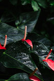 Macro shot of few many red flowers anthurium with dark green leaves and drops of water Royalty Free Stock Photography