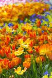 Closeup Macro Shot of Field of National Dutch Holland Tulips Of The Selectives Shot Against Blurred Background. stock photos