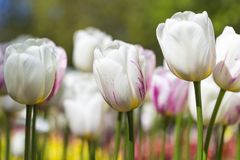 Closeup Macro Shot of National Dutch Tulips Of The Selected Sorts Royalty Free Stock Images