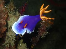 A closeup and macro shot of nudibranch underwater diving in Sabah, Borneo. royalty free stock photos