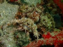 Closeup and macro shot of scorpion fish in underwater world diving in Sabah, Borneo. stock photography