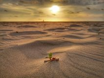 A tiny leaf of morning glory flower grown on the sandy beach with sunset view background. stock photos