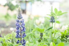 closeup macro shot of vibrant purple Lupine flowers royalty free stock images