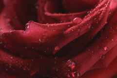 Closeup macro shot of wet red rose. Valentines day theme Royalty Free Stock Photography