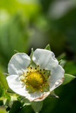 Closeup macro strawberry flower blossom with copy space blurred background Royalty Free Stock Photography