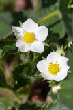 Closeup macro strawberry flower blossom at sunny summer day Stock Images