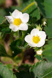 Closeup macro strawberry flower blossom at sunny summer day Stock Image