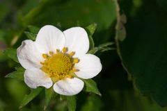 Closeup macro strawberry flower blossom at sunny summer day Stock Photography