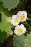 Closeup macro strawberry flower blossom at sunny summer day Stock Photo