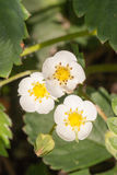 Closeup macro strawberry flower blossom at sunny summer day Royalty Free Stock Photography