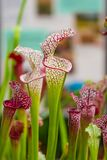 Closeup macro view of sarracenia leucophylla plant. Green insect consuming plant is growing in garden. Interesting botanical leafs royalty free stock images