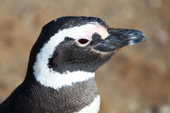 Closeup of Magellanic Penguin Stock Photo