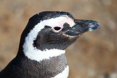Closeup of Magellanic Penguin Stock Photo