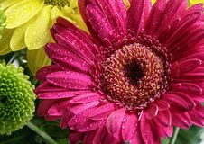 Closeup of a magenta flower with water drops royalty free stock photography