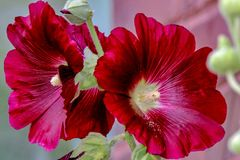 Closeup of Magenta Red Colored Hollyhock Flowers 1 Royalty Free Stock Photos