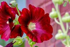 Closeup of Magenta Red Colored Hollyhock Flowers 2 Stock Photos