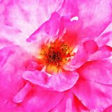Closeup Magenta Rose Fine Art. Digital painting created by hand using several techniques to resemble watercolor on paper Royalty Free Stock Photos