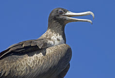 Closeup of the magnificent frigatebird Royalty Free Stock Images