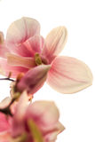 Closeup of magnolia in contrejour lighting Stock Photos