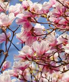 Closeup of Magnolia Flower at Blossom Stock Images