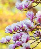 Closeup of Magnolia Flower at Blossom Royalty Free Stock Images