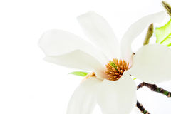 Closeup of magnolia stellata blossoming Stock Photos