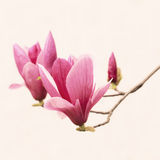Closeup magnolia on white background Stock Image