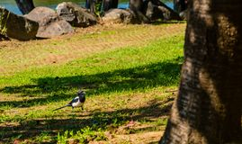 Closeup of a magpie standing in the shade Royalty Free Stock Image