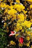 Closeup of mahonia bush in the park stock photography