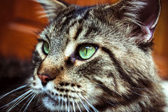Closeup of Maine Coon black tabby cat with green Royalty Free Stock Image