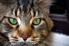 Closeup of Maine Coon black tabby cat with green Royalty Free Stock Images