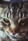 Closeup of Maine Coon black tabby cat with green Royalty Free Stock Photo