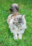 Closeup of Maine Coon Cat Royalty Free Stock Image