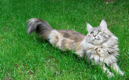 Closeup of Maine Coon Cat Royalty Free Stock Photography