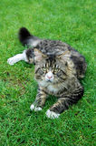 Closeup of Maine Coon Cat Stock Photo