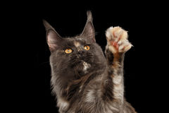 Closeup Maine Coon Cat Looking up, Raising paw, Isolated Black Stock Image
