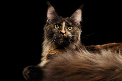 Closeup Maine Coon Cat Lying, Rest, Curious Looks Isolated Black Stock Photo