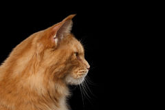 Closeup Maine Coon Cat Portrait Isolated on Black Background Royalty Free Stock Photo