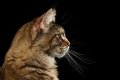 Closeup Maine Coon Cat Portrait Isolated on Black Background Stock Photography