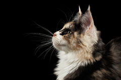 Closeup Maine Coon Cat, Profile view, Looking up,  Black Stock Image
