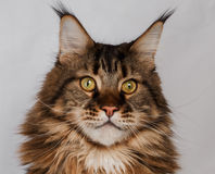 Closeup maine coon cat. On white Royalty Free Stock Images