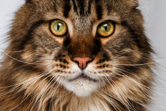 Closeup maine coon cat. On white Stock Photo