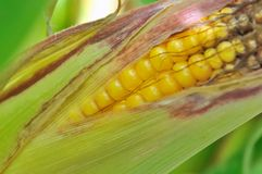 Closeup on maize Royalty Free Stock Photography
