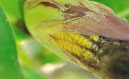 Closeup on maize Stock Photography