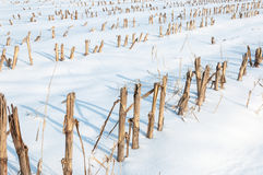 Closeup of maize stubbles in snow Stock Photos