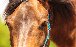 Closeup of majestic graceful brown horse Royalty Free Stock Images