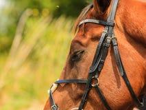 Closeup of majestic graceful brown horse Stock Photos